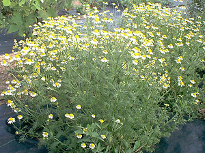 Chamomile Common