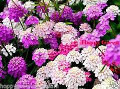 Candytuft Dwarf Fairy Mix