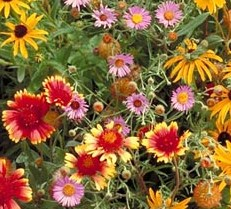 Wildflower Mix All Perennial