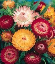 Strawflower Mix