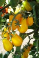 Tomato Yellow Plum